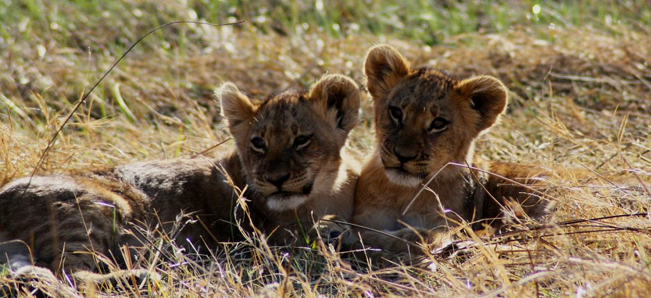 Lion cubs in the Serengeti plains in Tanzania