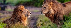 Ngorongoro lion conservation with KopeLion