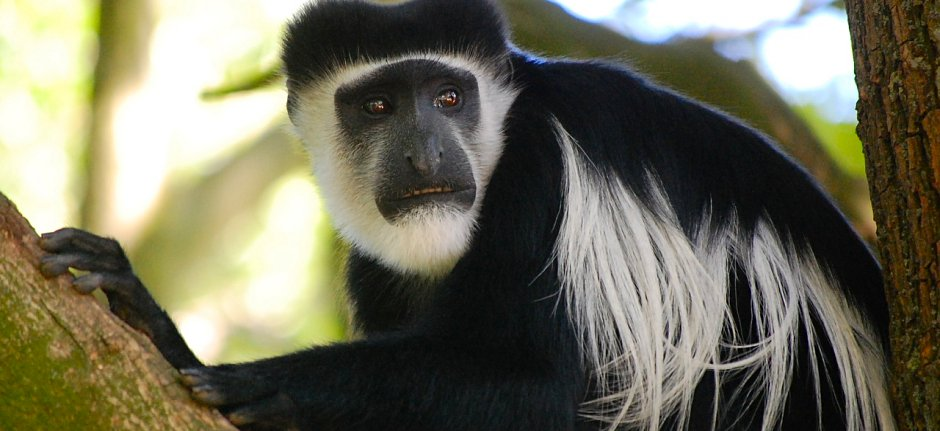 Black and white Colobus Monkey in forests Mount Meru