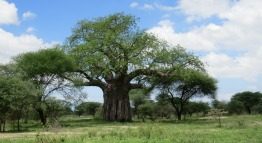 tarangire-baobab-tanzania-private-safari