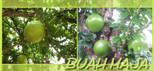 buah Maja yang Pahit