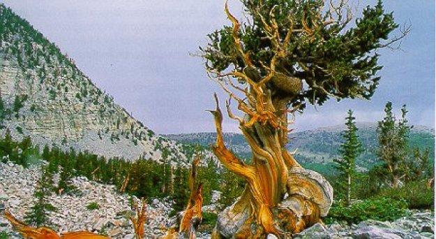 The Methuselah Tree