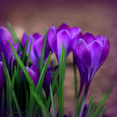 crocus © Annie Japaud Photography