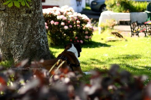dog resting in the shade of a tree