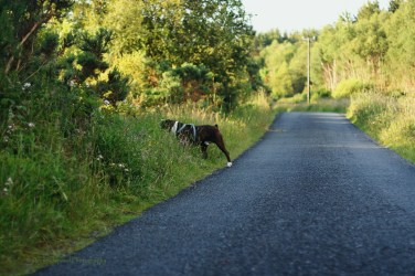 a boxer dog sniffing the side of the road