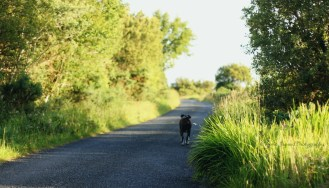 walking boxer dog on a blue road