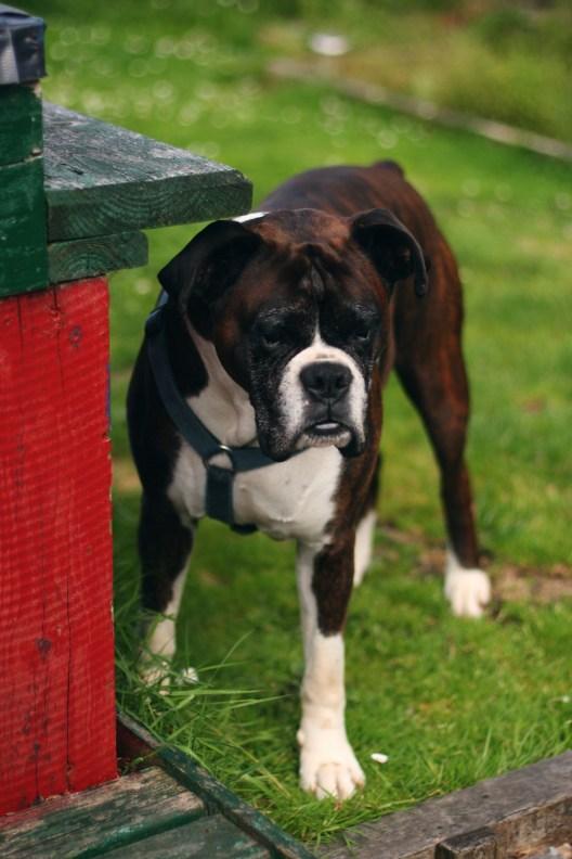 Boxerdog, garden