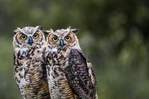 Back Yard Horned Owls