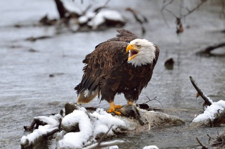 Bald eagle defends her territory