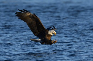 bald eagle photograph captured moments before snatching fish from the mississippi river