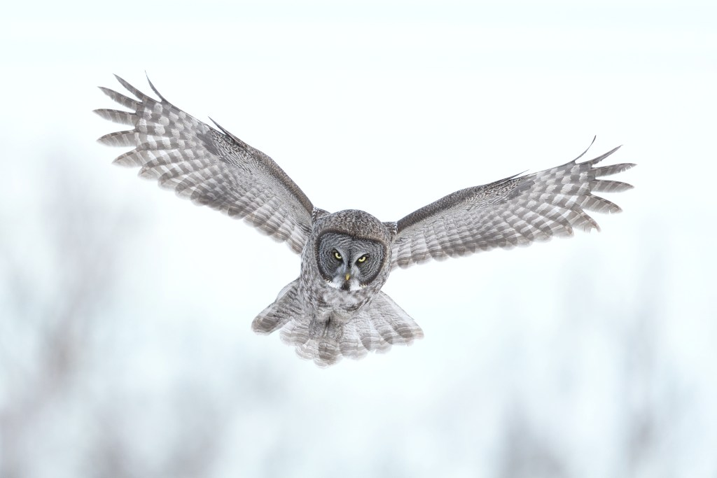 Great Grey Owl with wings fully extended.