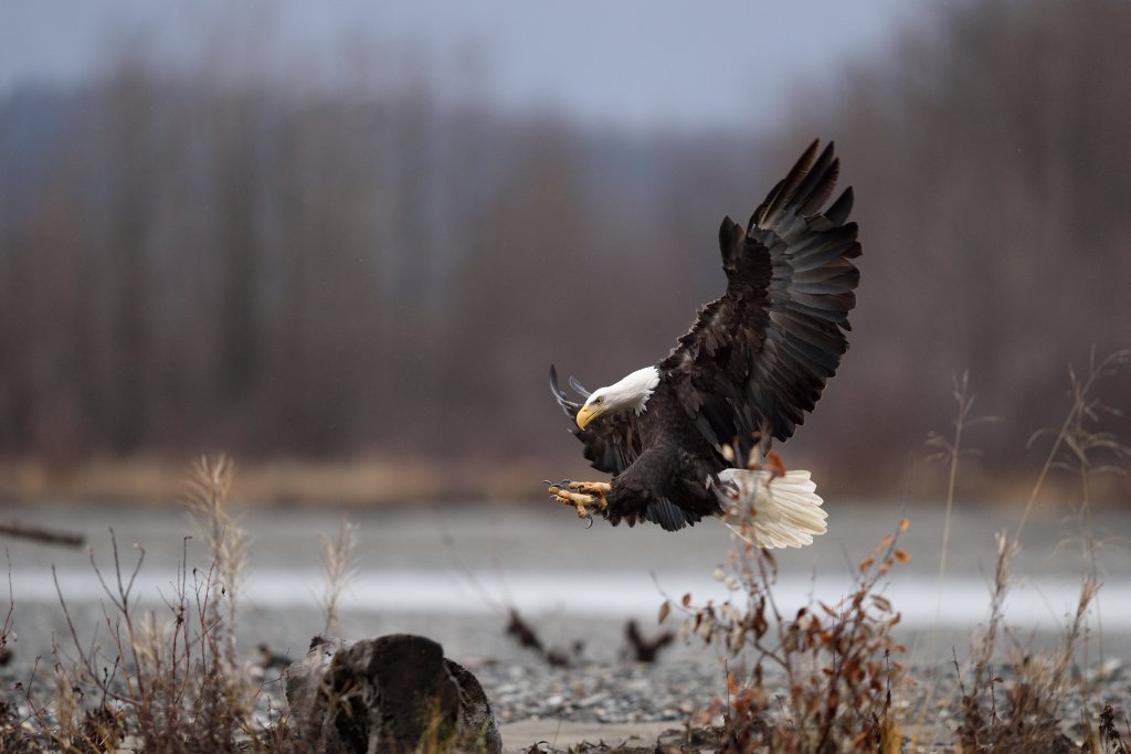 Bald eagle landing at the Chilkat Bald Eagle Preserve.