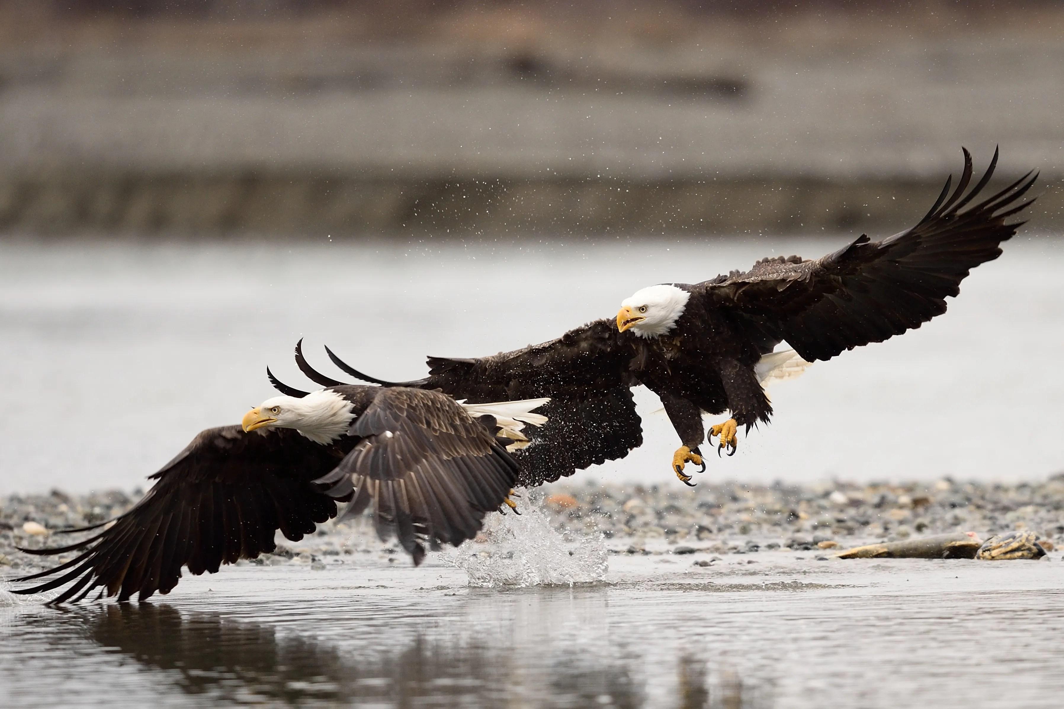 Chilkat Bald Eagle Preserve.  The Perfect Storm for Bald Eagle Photographers.