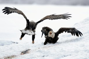 Bald eagle in a defensive position to protect her meal.