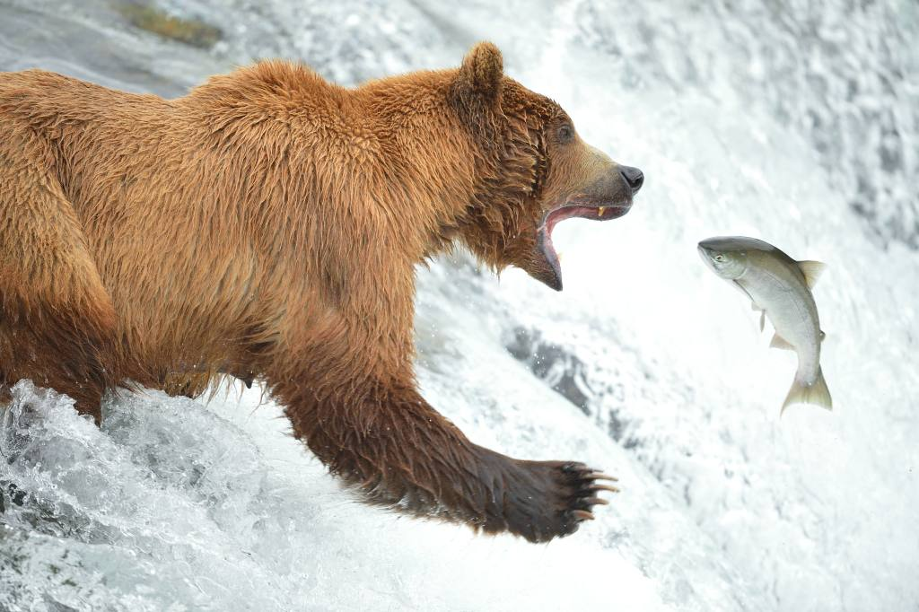 Brown bear catching salmon in mid-air