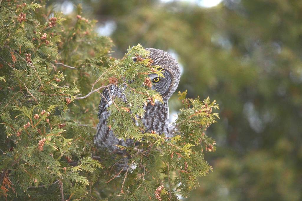 Great gray owl vision.