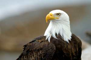 BALD EAGLE PHOTOGRAPHY TRIPS