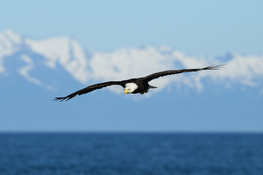 Bald Eagle, Brown Bear, and Great Grey Owl Photography Workshops
