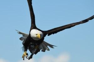 Bald eagle with fish at the Kenai Peninsula