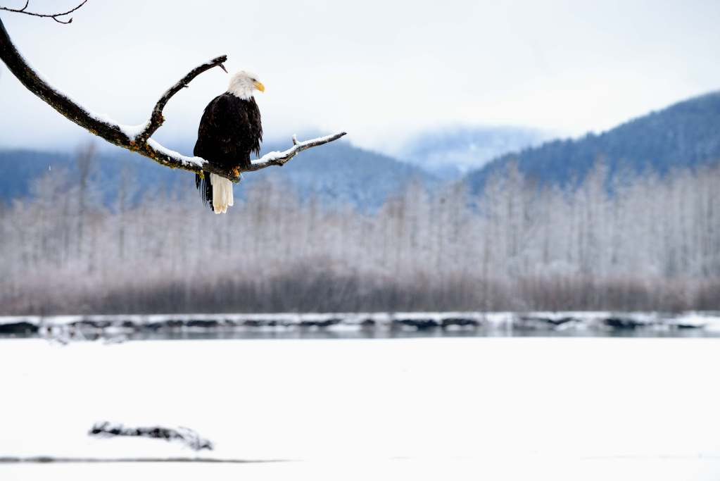Bald eagle sitting on a branch in front of the Chilkat Bald Eagle Preserve