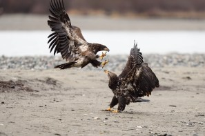 Haines, Alaska.  One of the best places to see bald eagles.  www.ajharrisonphotography.com