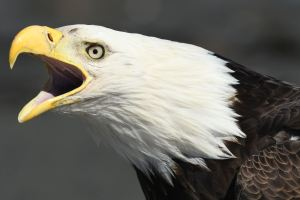 Read more about the article PHOTO TUTORIAL – THE RIGHT LIGHT FOR BALD EAGLE PHOTOGRAPHY