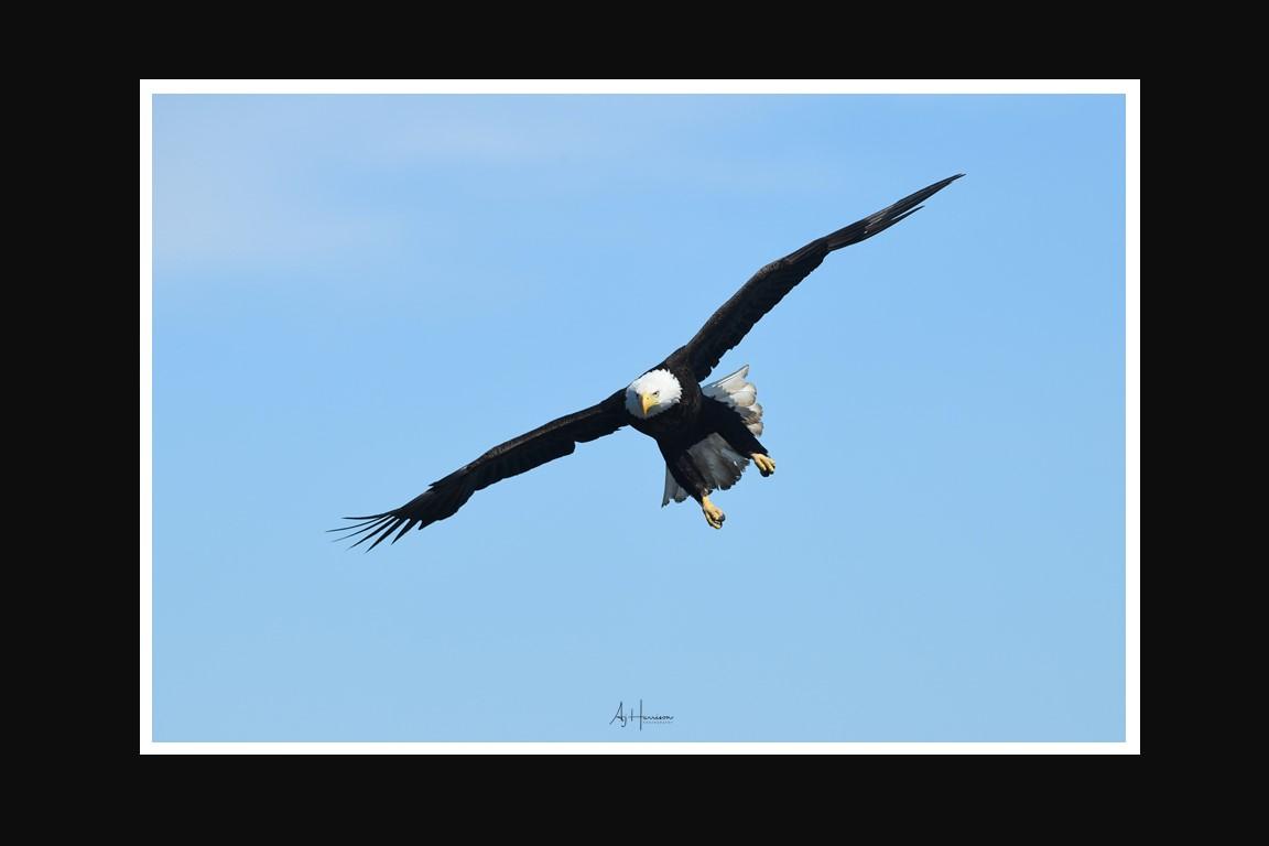 Bald Eagle Homer Alaska Workshop