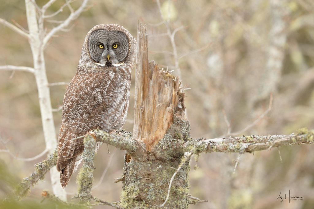 Great Gray Owl blends into the background
