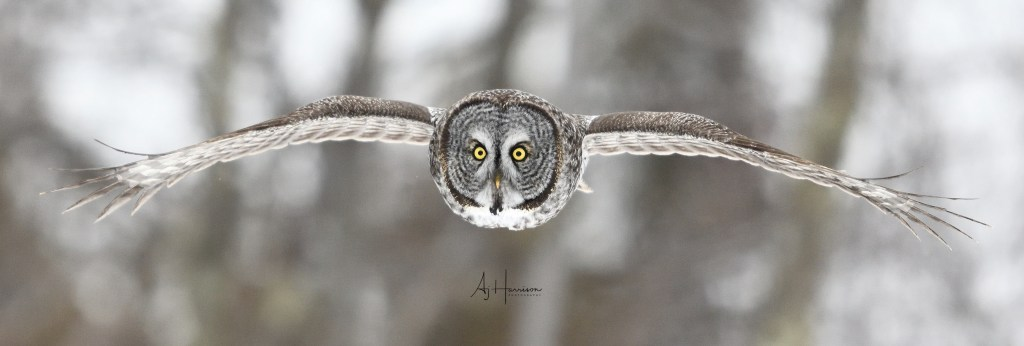 Great Gray Owl in flight. Sax-Zim Bog.