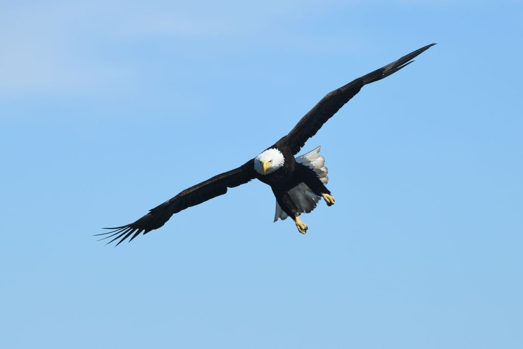 Bald eagle in flight. Photo tour of Homer, Alaska