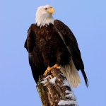 BALD EAGLE PHOTOGRAPHY – 5 TIPS FOR CAMERA SETTINGS