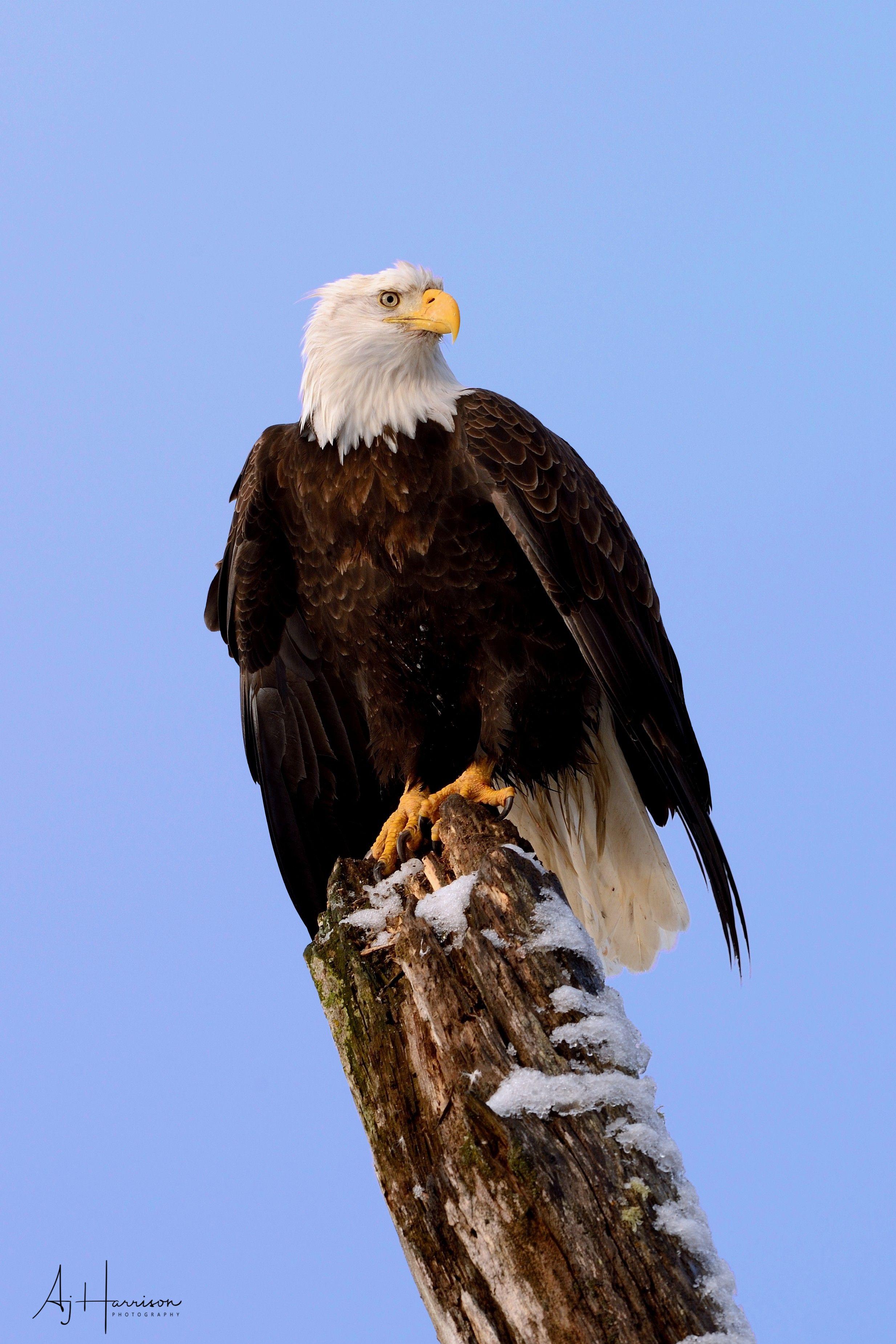 Bald eagle perched against blue sky