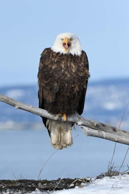 Bald eagle screaming