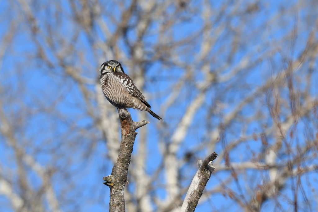 Northern Hawk Owl perched on a branch