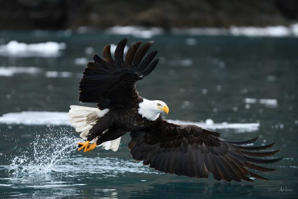 Bald eagle catching fish in Alaska