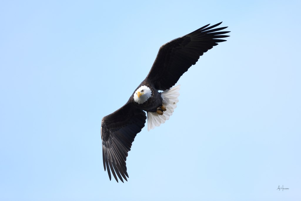 Bald eagle in flight blue sky