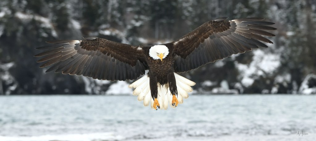Bald eagle landing talons out
