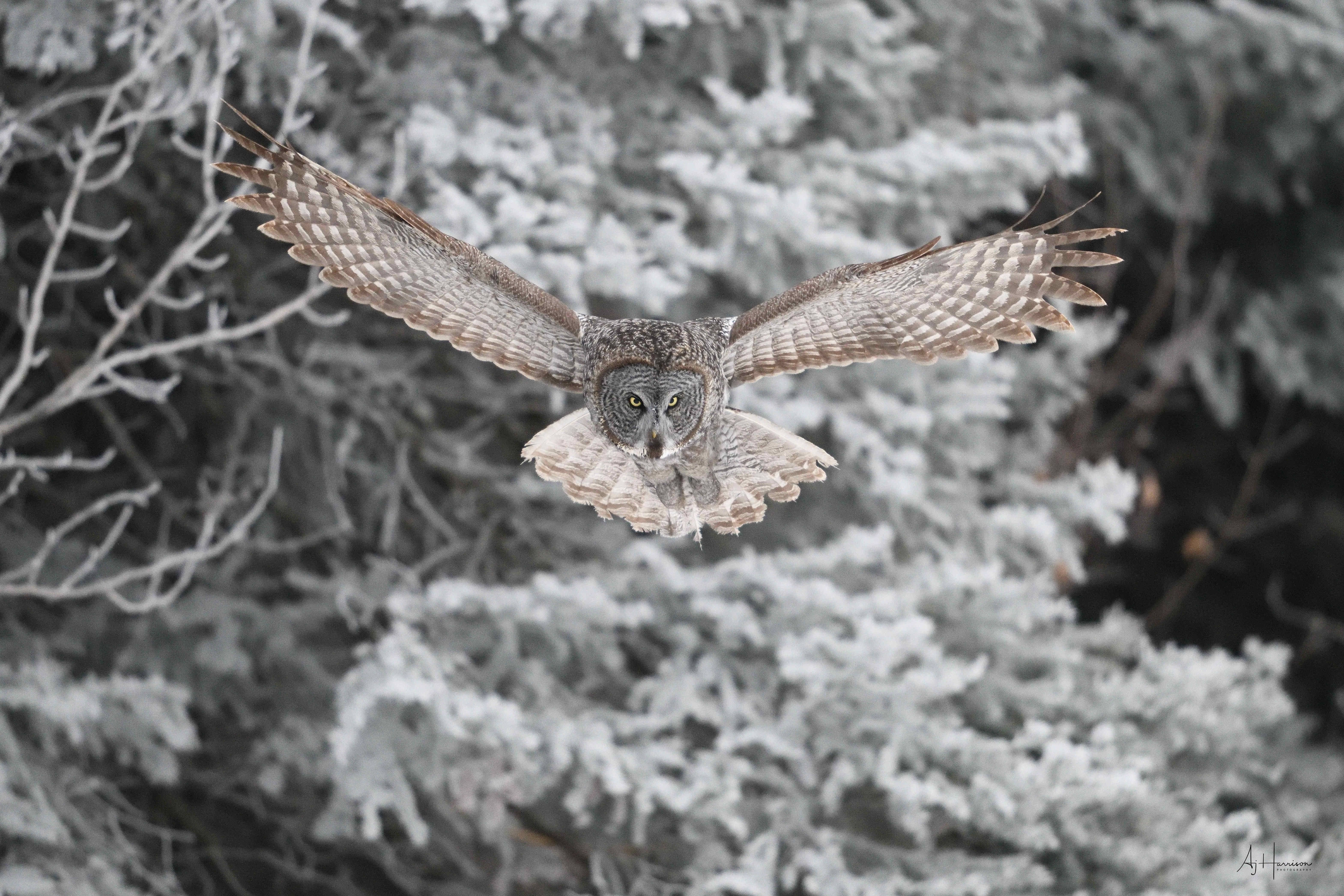 Gray owl on the hunt