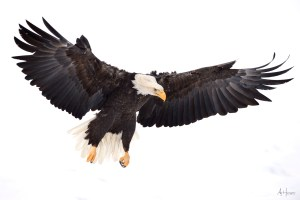BALD EAGLE BEHAVIOR IN THE CHILKAT BALD EAGLE PRESERVE