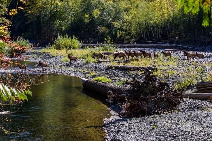 Elk Herd, N Fork Skokomish, 15Oct2017, Photo by Allan J Jones