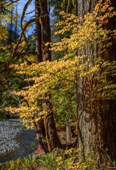 N Fork Skokomish Fall Colors, Olympic National Park, 15Oct2017, Photo by Allan J Jones