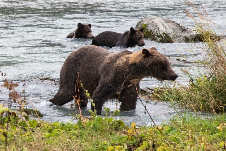 Mom bear and cubs in Chilkoot River, Haines, Alaska