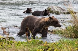 Mother grizzly with cubs in Chilkoot River, 28Aug2015, Photo by Allan J Jones