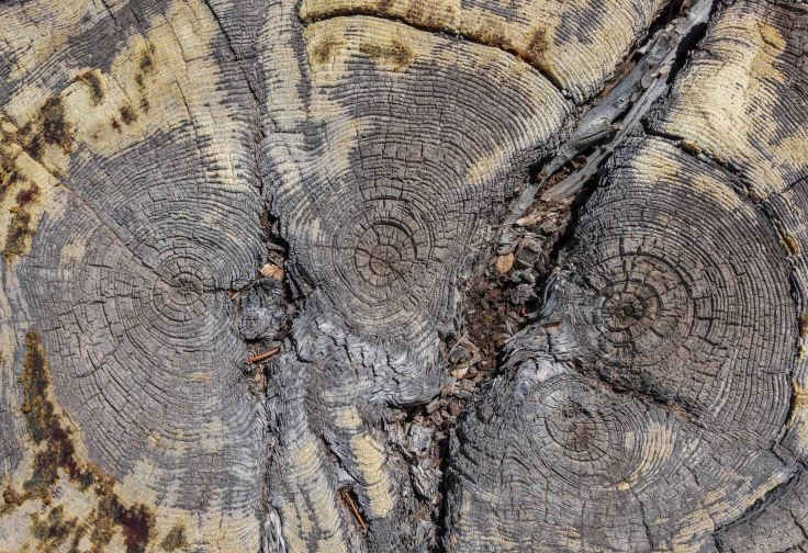 Stump of Ancient Bristlecone Pine