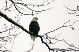 Chilkat Valley Eagle, Haines, AK 26Nov2013 by Allan J Jones