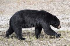 Black Bear Alaska Highway, Photo by Allan J Jones