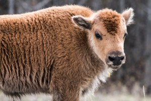 Wood Bison Calf, Alaska Highway, Photo by Allan J Jones