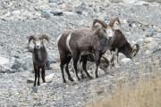 Sheep in group, Alaska Highway, Photo by Allan J Jones