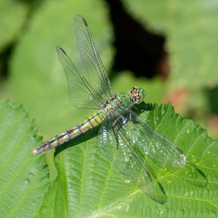 Green Clearwing by Allan J Jones Photographer
