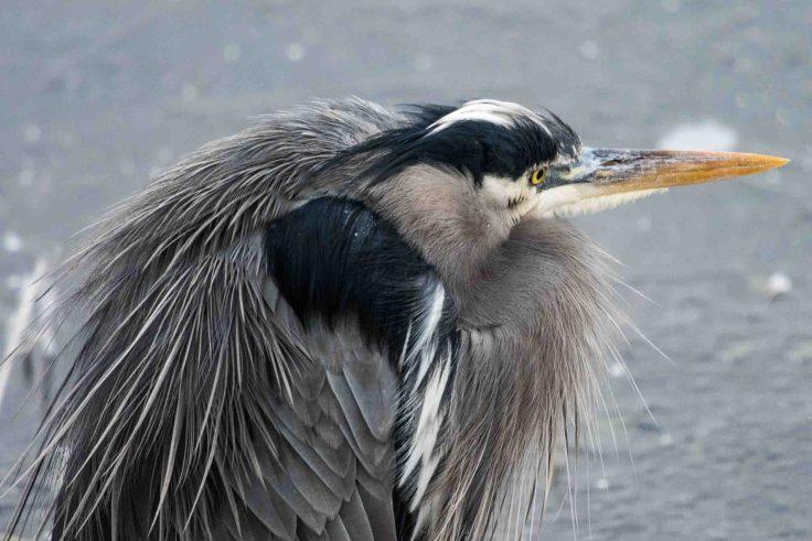 Great Blue Heron by Allan J Jones Photography